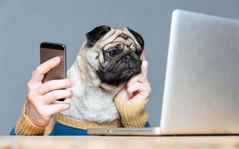 パソコンを見つめるパグ